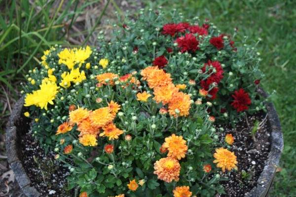 plant some mums, it's time